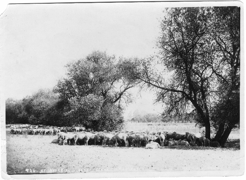 1905 cattle seeking noon shade