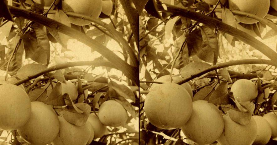 聖何塞種植的柑橘類水果的歷史照片