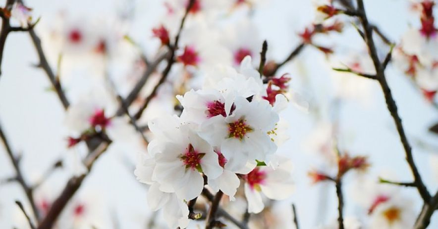 Photograph of white and red almond blossoms on tree branches