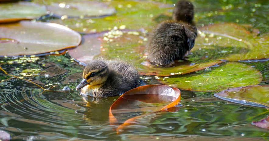 Two brown and yellow ducklings swimming through lily pads in a brightly lit pond