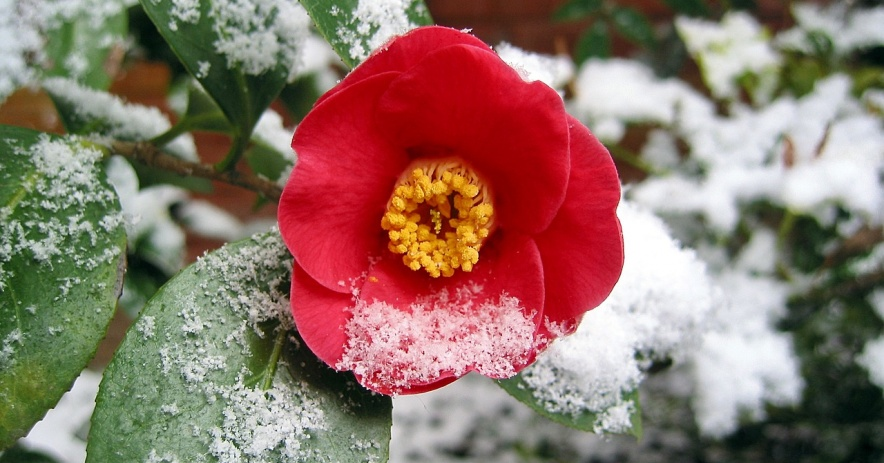 Red camellia with a dusting of snow.