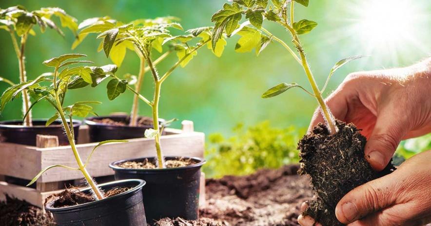 Manos de un jardinero colocando una planta en el suelo.