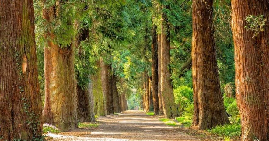 rừng cây gỗ đỏ.