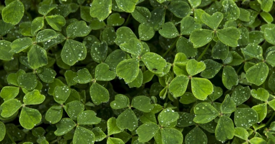 Image of clovers