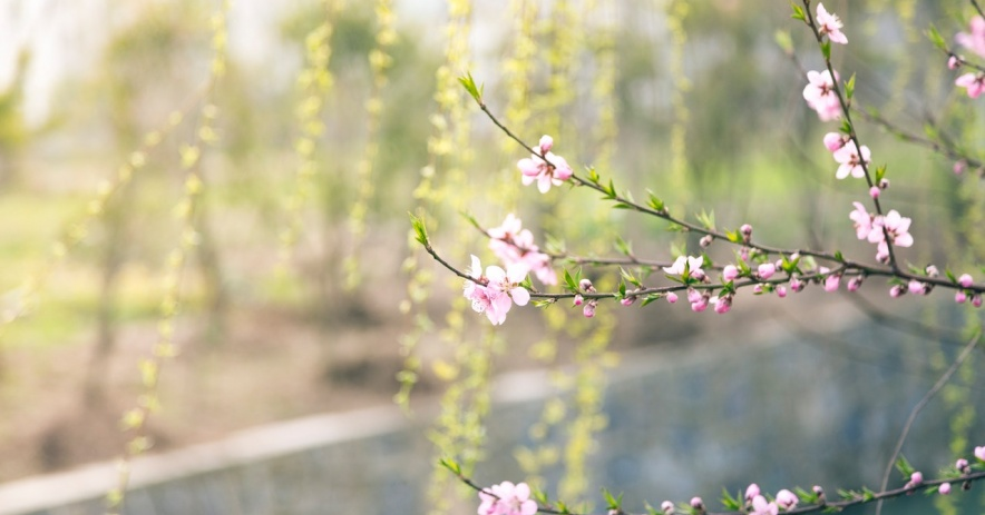 A photograph with pink cherry blossoms in focus with blurred greenery in the background.