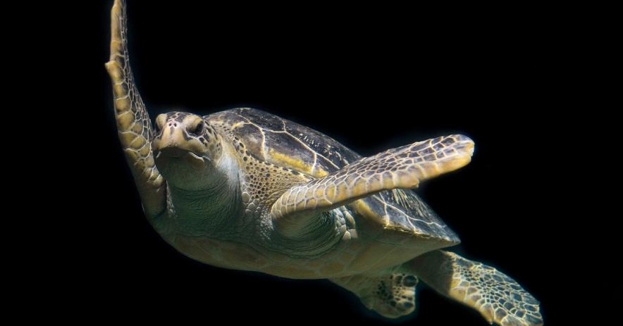 Tortuga verde nadando