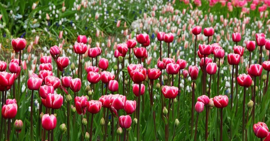 Campo de tulipanes principalmente rojos