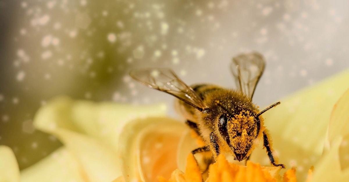 Miel de abeja cubierta de polen descansando sobre una flor amarilla.