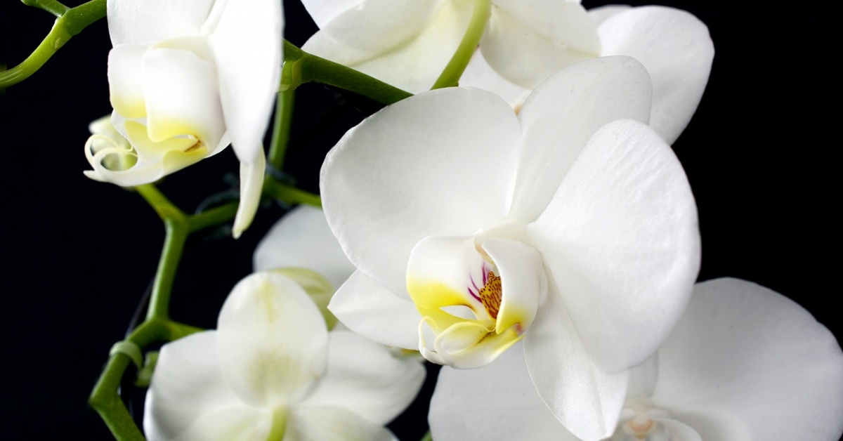Cinco flores de orquídeas blancas sobre un fondo negro.